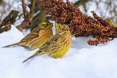 Yellowhammer of snow looking for food to survive. Wildlife, winter survival, cold and frost Stock Photo