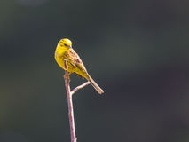 Yellowhammer in the sunlight Royalty Free Stock Photos