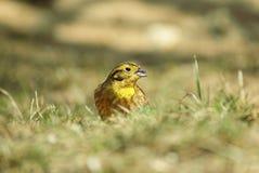 Yellowhammer sur l'herbe Photo libre de droits