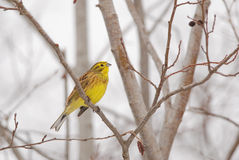Yellowhammer in winter Stock Photos