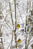 Yellowhammer in winter forest Royalty Free Stock Images