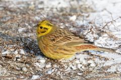 Yellowhammer winter sunny day sitting in the snow, Emberiza citrinella Stock Photos