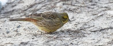 Yellowhammer winter sunny day sitting in the snow, Emberiza citrinella Royalty Free Stock Photo