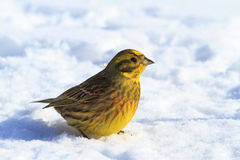 Yellowhammer winter sunny day sitting in the snow Royalty Free Stock Photo