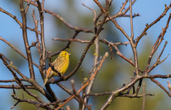 Yellowhammer & x28;Emberiza citrinella& x29; passerine bird singing Stock Photos
