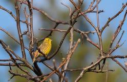 Yellowhammer & x28; Emberiza citrinella& x29; wróblowaty ptasi śpiew Zdjęcia Stock