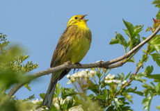 Yellowhammer Yellow Song Bird Royalty Free Stock Photos
