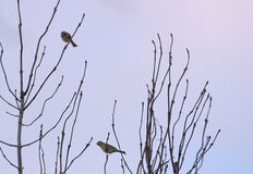 Yellowhammers On Tree Stock Photography