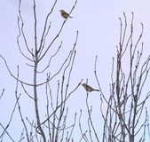 Yellowhammers On Tree Royalty Free Stock Images