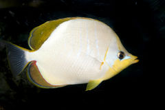 Yellowhead butterflyfish (Chaetodon xanthocephalus Royalty Free Stock Photos
