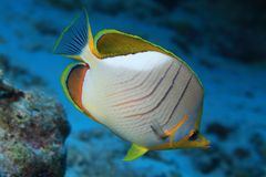 Yellowhead butterflyfish Royalty Free Stock Photo