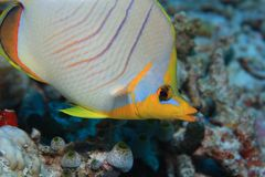 Yellowhead butterflyfish Royalty Free Stock Image