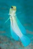 Yellowhead die jawfish zwemmen Royalty-vrije Stock Afbeelding