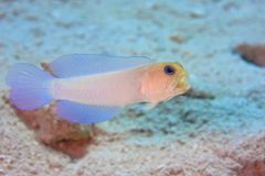 Yellowhead Jawfish Stock Image