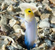 Yellowhead Jawfish Royalty Free Stock Photo