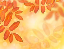 Yellowing autumn leaves Royalty Free Stock Photo