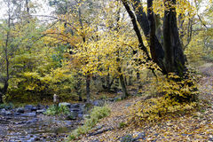 Yellowing autumn leaves in the woods. Royalty Free Stock Photo