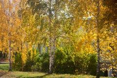 Yellowing brzozy i krzaki w mieście Fotografia Royalty Free
