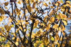 Yellowing crab apple tree in autumn. Small crab apple tree wearing it`s fall colours on a sunny afternoon stock photos