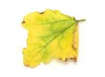 Yellowing dyniowych liście na bielu i umierający fotografia royalty free