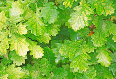 Yellowing foliage of oak close-up as background Stock Images