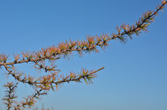 Yellowing larch in the Taimyr tundra. Stock Image