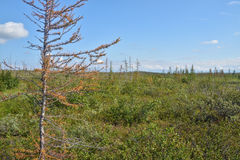 Yellowing larch in the Taimyr tundra. Stock Photo