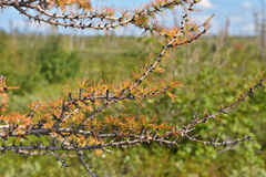Yellowing larch in the Taimyr tundra. Stock Photos