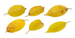 Yellowing leaf(banyan) on white Royalty Free Stock Photo