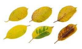 Yellowing leaf(banyan) on white Stock Photos