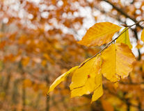 Yellowing leaves Stock Images