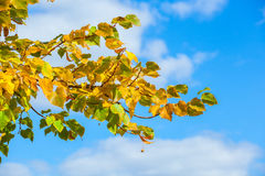 Yellowing leaves on the branches of a linden tree Stock Image