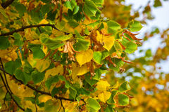 Yellowing leaves on the branches of a linden tree on blue sky. Stock Photography