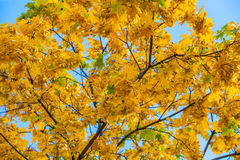 Yellowing leaves on the branches of a maple tree on blue sky background close-up. Autumn leaf fall Stock Photos