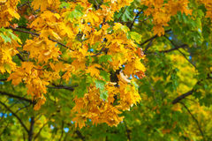 Yellowing leaves on the branches of a maple tree on blue sky background close-up. Autumn leaf fall Stock Images