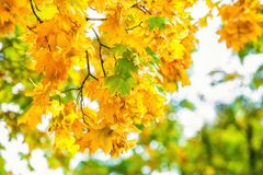 Yellowing leaves on the branches of a maple tree on blue sky background close-up. Autumn leaf fall Royalty Free Stock Photography