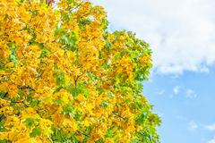 Yellowing leaves on the branches of a maple tree on blue sky background close-up. Autumn leaf fall Royalty Free Stock Photo