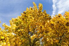 Yellowed maple trees in autumn. Yellowing leaves on maple trees in the fall season. Blue sky in the background. Photo taken closeup. The foliage is illuminated royalty free stock image