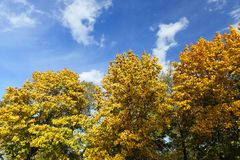 Yellowed maple trees in autumn. Yellowing leaves on maple trees in the fall season. Blue sky in the background. Photo taken closeup Stock Image