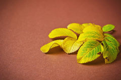 Yellowing leaves of a tea rose Stock Photo