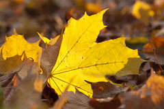 Yellowing leaves on the trees. Growing in the city park, autumn season, a small DOF stock photography