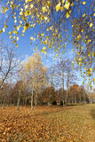 Yellowing leaves on the trees Stock Photography