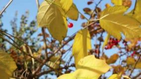 Yellowing leaves of viburnum stock video footage