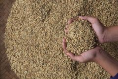 A collection of paddy seeds that turn yellow in the hand royalty free stock images