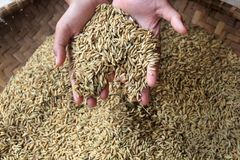 Yellowing rice seeds ready to be processed into rice royalty free stock photo