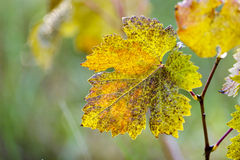 Yellowing vine leaves in nature. Stock Photos
