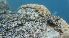 Yellowish coral reef underwater shot. A full shot of a yellowish coral reef that shows the fin of a scuba diver. Tracking shot forward and pans to right to show stock footage