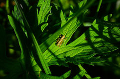 Yellowish cricket on leaf Royalty Free Stock Photo