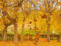Yellowish deciduous tree at autumn. stock images