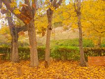 Yellowish deciduous tree at autumn at Corinth in Greece. royalty free stock photo